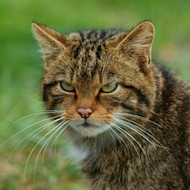 purebred scottish wildcat endangered