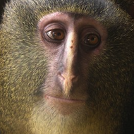 lesula new species monkey congo