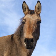 Mules more intelligent than dogs