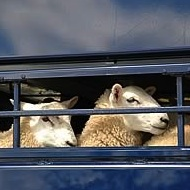 RSPCA seeks to monitor live exports