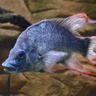Female mate sought for endangered fish