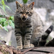 Scottish wildcats arrive at Edinburgh Zoo