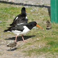 Oystercatchers nest in carpark
