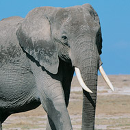 A fifth of elephants could be lost to poaching