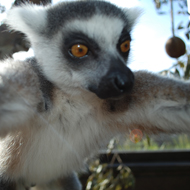 Watch out Ellen DeGeneres as lemur takes selfies