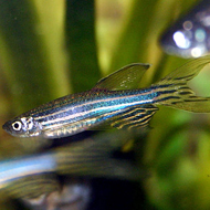 Zebrafish study to help tackle human aggression
