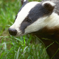 Roadkill badgers tested for bTB in new study