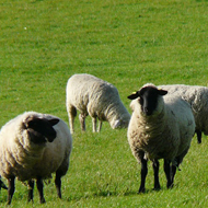 National Sheep Association publish sheep worrying survey results