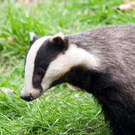 BVA backs badger cull decision