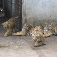 Calls for global action to end tiger farming