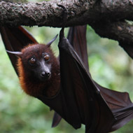 Fruit bats may spread Ebola epidemic, FAO warns