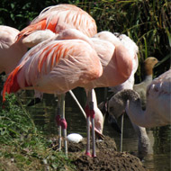 Wetlands centre celebrates arrival of Chilean flamingo egg