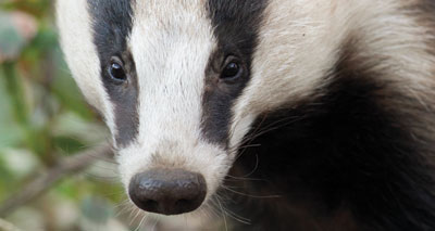 BVA supports second year of badger culls