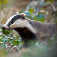 Defra to launch badger vaccination scheme