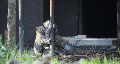 Amur leopards born at Twycross Zoo