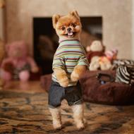 Pomeranian is fastest dog on two legs