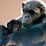 New baby chimpanzee makes Edinburgh debut