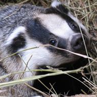 HSI urge Defra to extend badger vaccination scheme