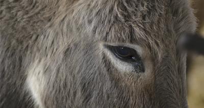 Donkey behaviour analysed