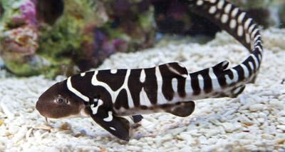 Rare zebra shark born at Sea Life Centre