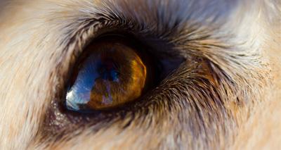 Pig pheromone stops bad behaviour in dogs
