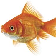 Goldfish surgery goes swimmingly