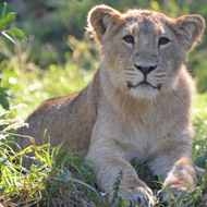ZSL London helps to secure future of the Asiatic lion
