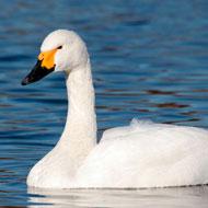 Alarming crash in Bewick's swan numbers