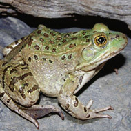 New frog species discovered in the US