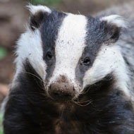 Gloucestershire badger cull ends