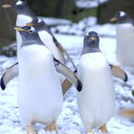 John Lewis advert inspired by Edinburgh Zoo penguins