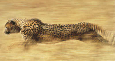 Humans responsible for falling cheetah numbers, study suggests