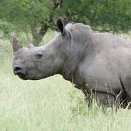 Race to save the white rhino