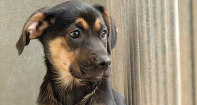 Dog breeding laws set to change in Wales
