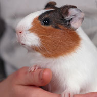 Guinea pigs linked to Strep infection