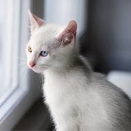AHT seeks litters of white kittens