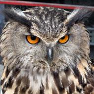 Rogue owl attacks Dutch town