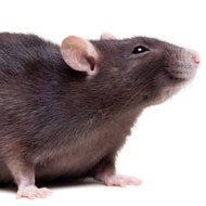 Black rats may not be the only plague culprit