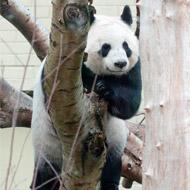 Giant panda Tian Tian artificially inseminated again