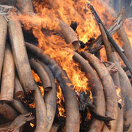 Countries take action on ivory