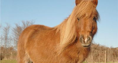 Shetland ponies help allergy sufferers