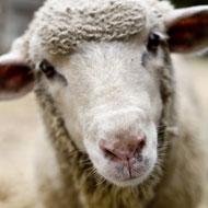 Novel blood test for sheep scab