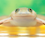 Study sheds light on deadly frog fungus