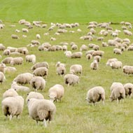 Sheep attacks: zero tolerance 'the only answer'
