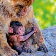 Baby macaque named after royal baby