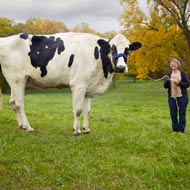 World record for tallest cow ever
