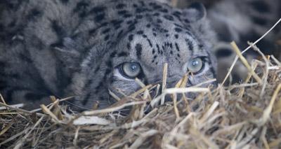 Wildlife park welcomes endangered snow leopards