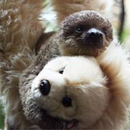 Baby sloth raised by teddy bear