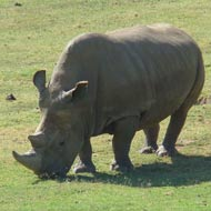 Rhino death leaves four in the world