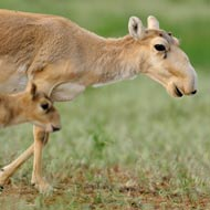 Race to save rare antelope after mystery deaths